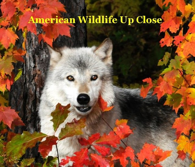 American Wildlife Up Close