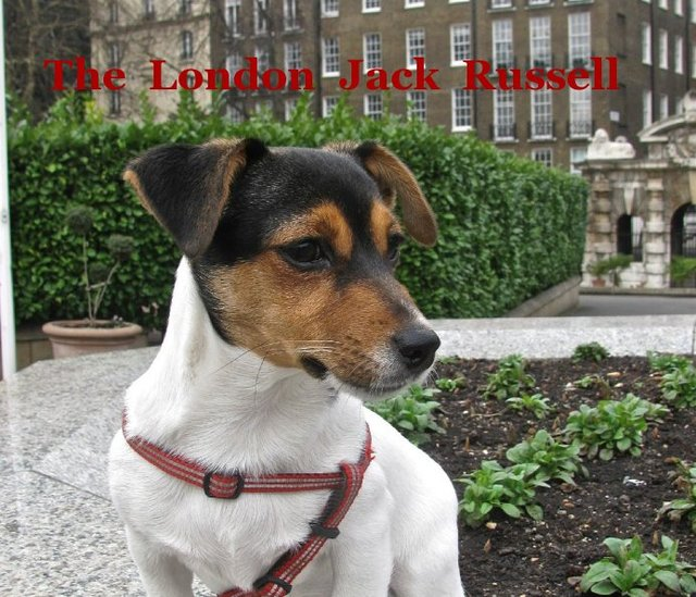The London Jack Russell