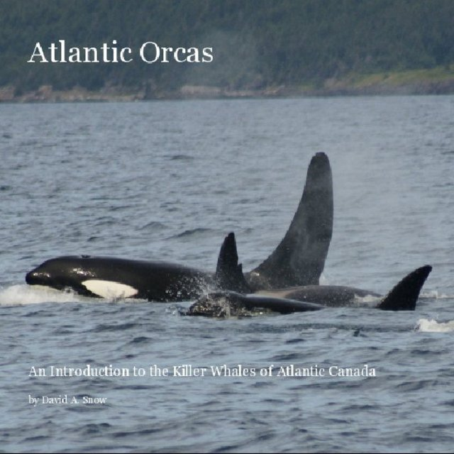 Atlantic Orcas