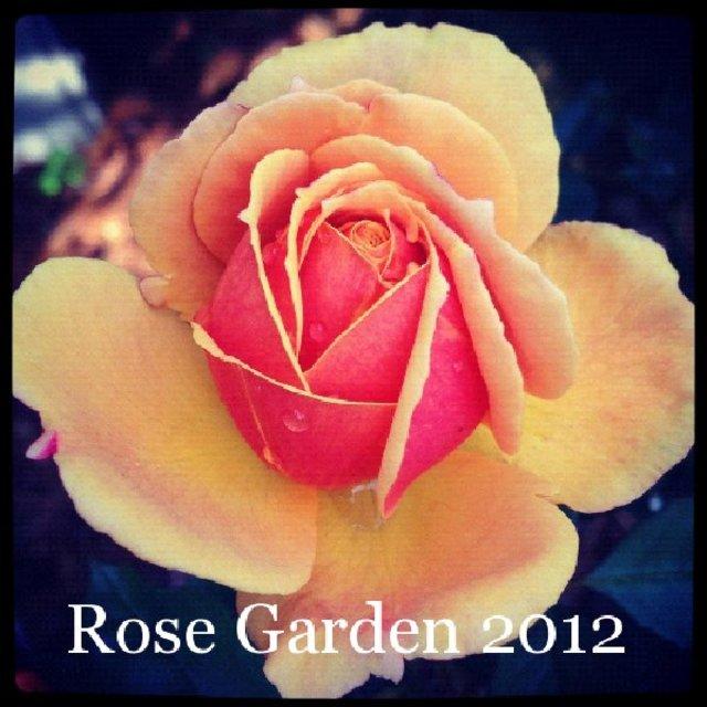 Rose Garden 2012
