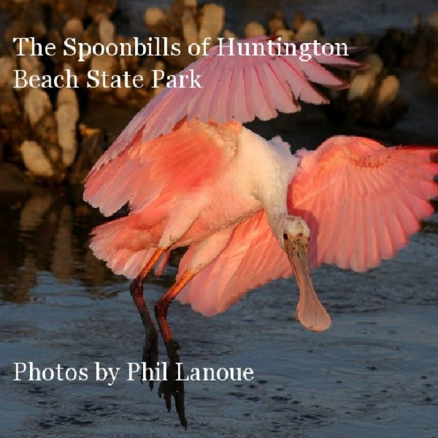 The Spoonbills of Huntington Beach State Park Photos by Phil Lanoue