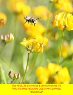 Les abeilles sauvages du Parc Naturel Régional de la Sainte Baume. Région Sud. book cover