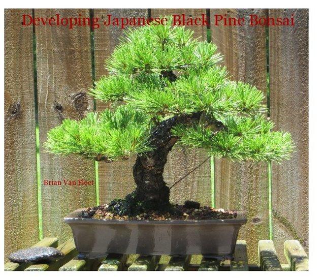 Developing Japanese Black Pine Bonsai